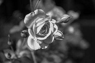 roos met knop van William Haddock