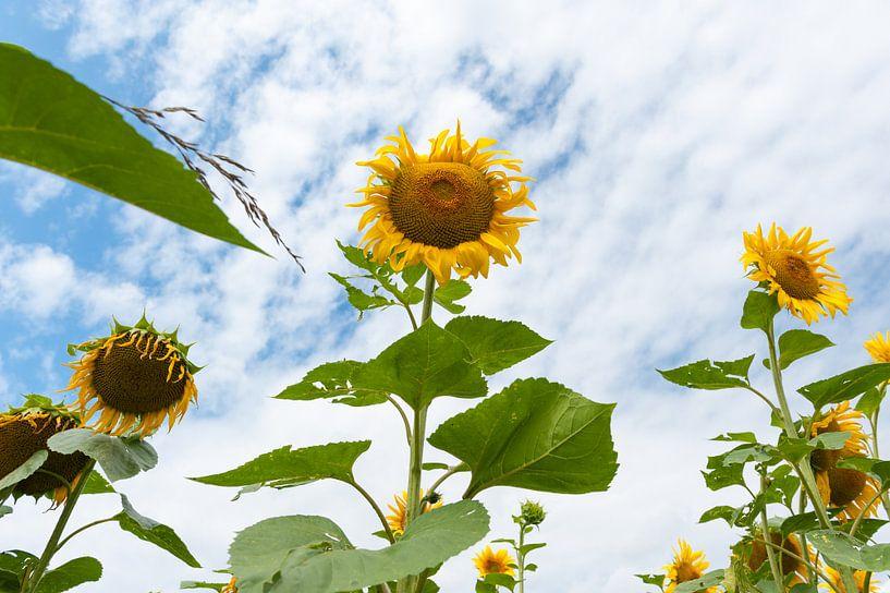 Franse zonnebloemen von Wim Slootweg