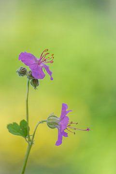 Stilleven van een roze geranium van John van de Gazelle