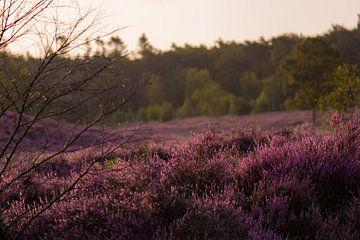 Heide am Morgen von Tania Perneel