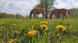 honey pasture