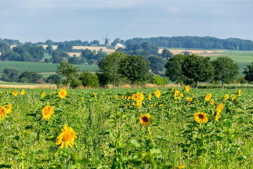 Bloeiende zonnebloemen in Simpelveld van John Kreukniet