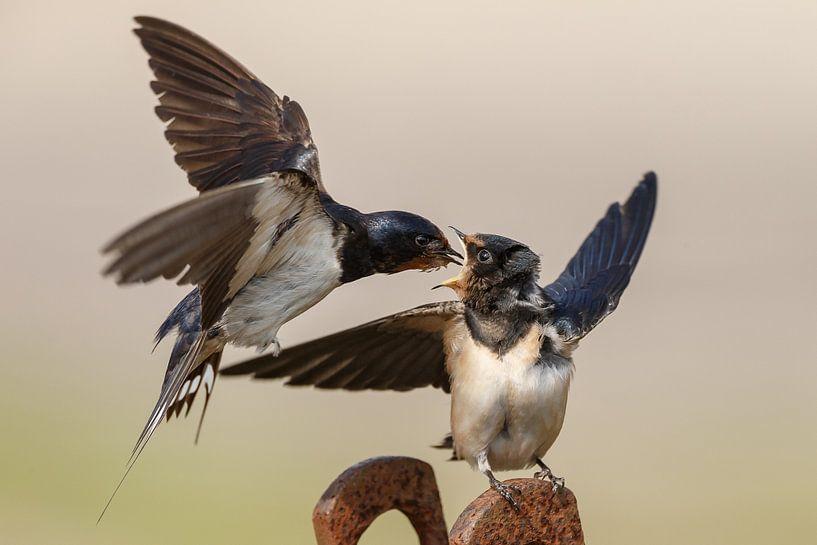 Boerenzwaluw voert de jonge zwaluw van Menno Schaefer