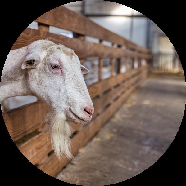 een groot mannetjes geit met hoorns en kuif en sik van ChrisWillemsen