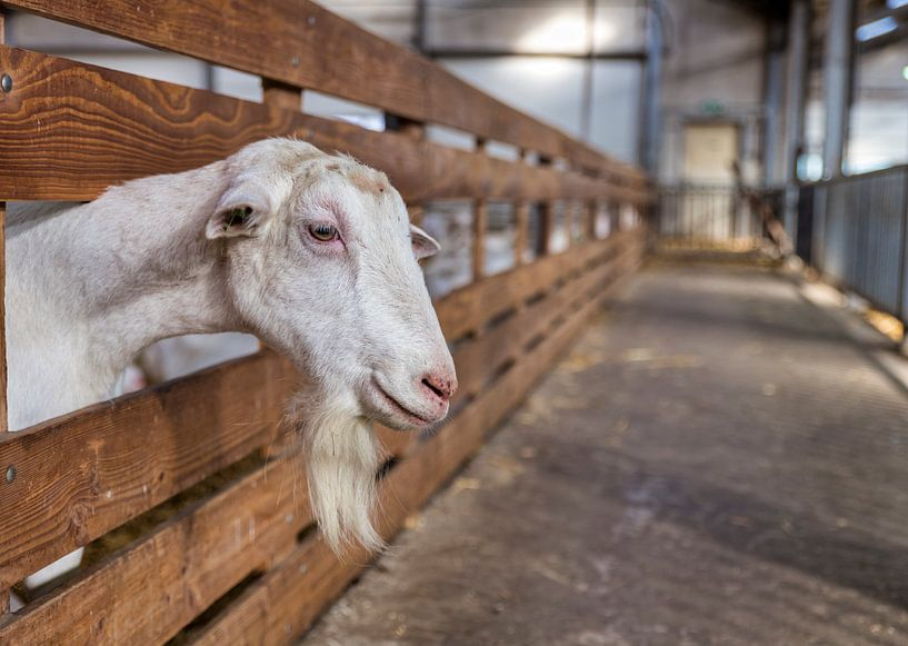 een groot mannetjes geit met hoorns en kuif en sik van Compuinfoto .
