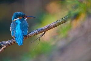 IJsvogel in kleurenpalet