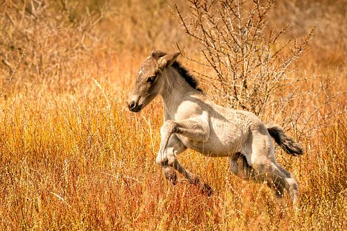 Een vrolijk Konikpaard veulen, de pasgeborene springt in het goud gekleurde riet.