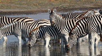 Zebras in Makgadikgadi NP von Marieke Funke