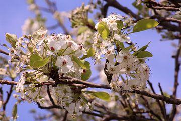 Witte lentebloesem van Deborah S