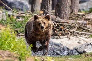 Bruine beer heeft honger van Peter Malaise