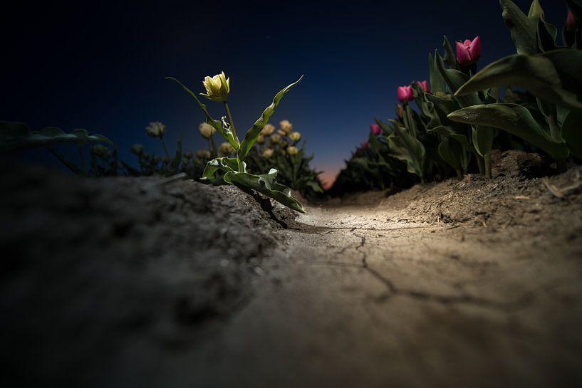 Tulpenveld na zonsondergang van Fotografiecor .nl
