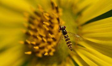 eine Schwebfliege sitzt auf einer gelben Blüte von Ulrike Leone
