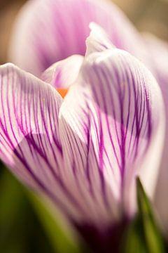 Frühlingsblume | Blumenkunst | Makrofoto von Krokus, orange Staubblätter in einer Blume | Kunstfotod von Karijn | Fine art Natuur en Reis Fotografie