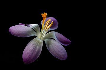 Fleur de printemps hollandaise. sur AGAMI Photo Agency