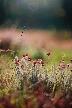 Heidekraut Blume von Yara Verstappen