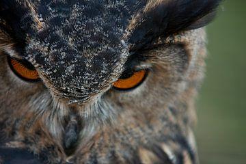Uil : Oehoe van Jos Verhoeven