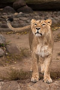 Leeuwin kijkt en snuift. Leeuwin vrouwtje is een grote roofzuchtige sterke en mooie Afrikaanse kat.