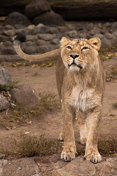 Die Löwin schaut und schnüffelt. Das löwenlose Weibchen ist eine große räuberische, starke und schön von Michael Semenov