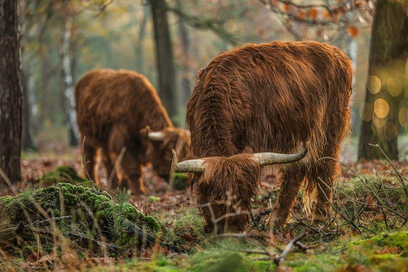 Weidende schottische Highlander von Bas Fransen