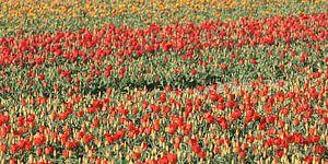 Tulpenvelden van Rob Hendriks