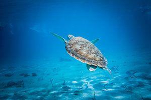 zeeschildpad van