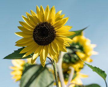 Sonnenblumen von Marjon Boerman