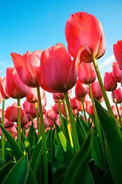 Tulpen rijken naar de hemel! van Wouter van Woensel