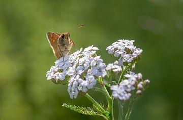 La Sylvaine sur une fleur sur Tim Abeln