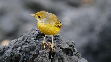 Galapagos Yellow Warbler sitting on lava von Tim van Vilsteren