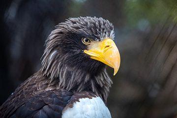 Adler van Bojan Radisavljevic
