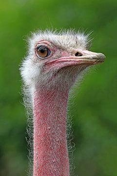 Struisvogel von Edwin Butter