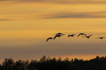 Vliegende ganzen in de avondschemer van whmpictures .com