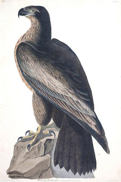 Amerikaanse zeearend van Birds of America