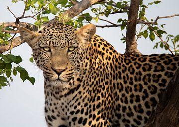Leopard im Krüger-Park von Petra Lakerveld