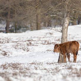 Taros kalf in de sneeuw van Tanja van Beuningen