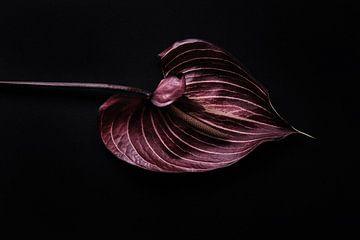 Anmutiges Anthurium auf schwarzem Hintergrund von Karel Ham