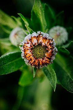 Ringelblume von Susan Lambeck
