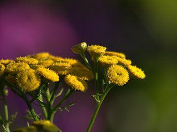 Zomer in de tuin. Gele bloem pakt het zonlicht. van Anke Winters