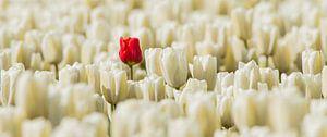 Rode eenzame tulp