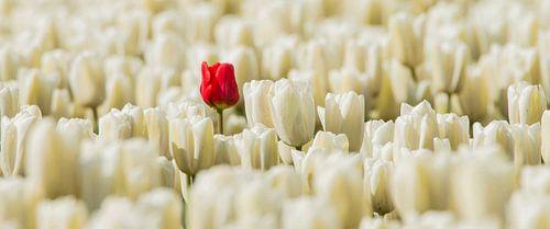Rode eenzame tulp van Gert Hilbink