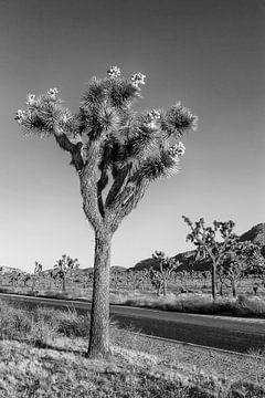 Park Boulevard, Joshua Tree National Park von Melanie Viola