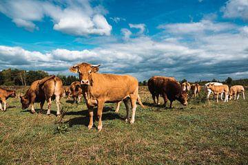 Niederländische Kühe auf der Wiese von Jordi Sloots