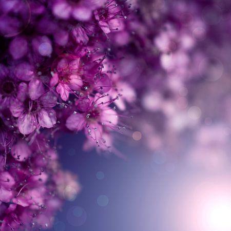 purple dream sur Danny van den Berg