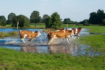 Blije koeien met lentekriebels von Wim van der Ende