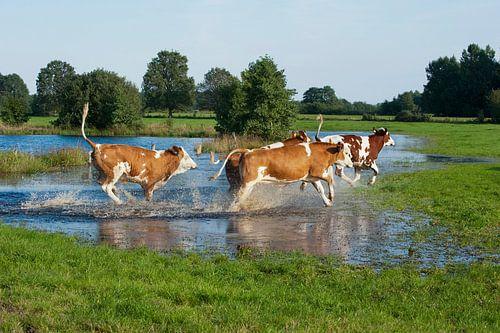 Blije koeien met lentekriebels van