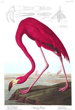 Amerikanischer Flamingo, John James Audubon