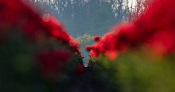 Tulpen von Nico Boersma