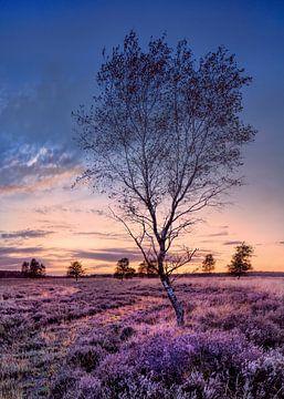 Berk op een paars bloeiende kachel bij zonsondergang van Tony Vingerhoets