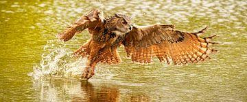 Panorama d'un hibou grand-duc, volant les ailes déployées au-dessus d'un lac vert.   Beaucoup d'écla sur Gea Veenstra