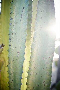 cactus in ochtendzon van Karel Ham